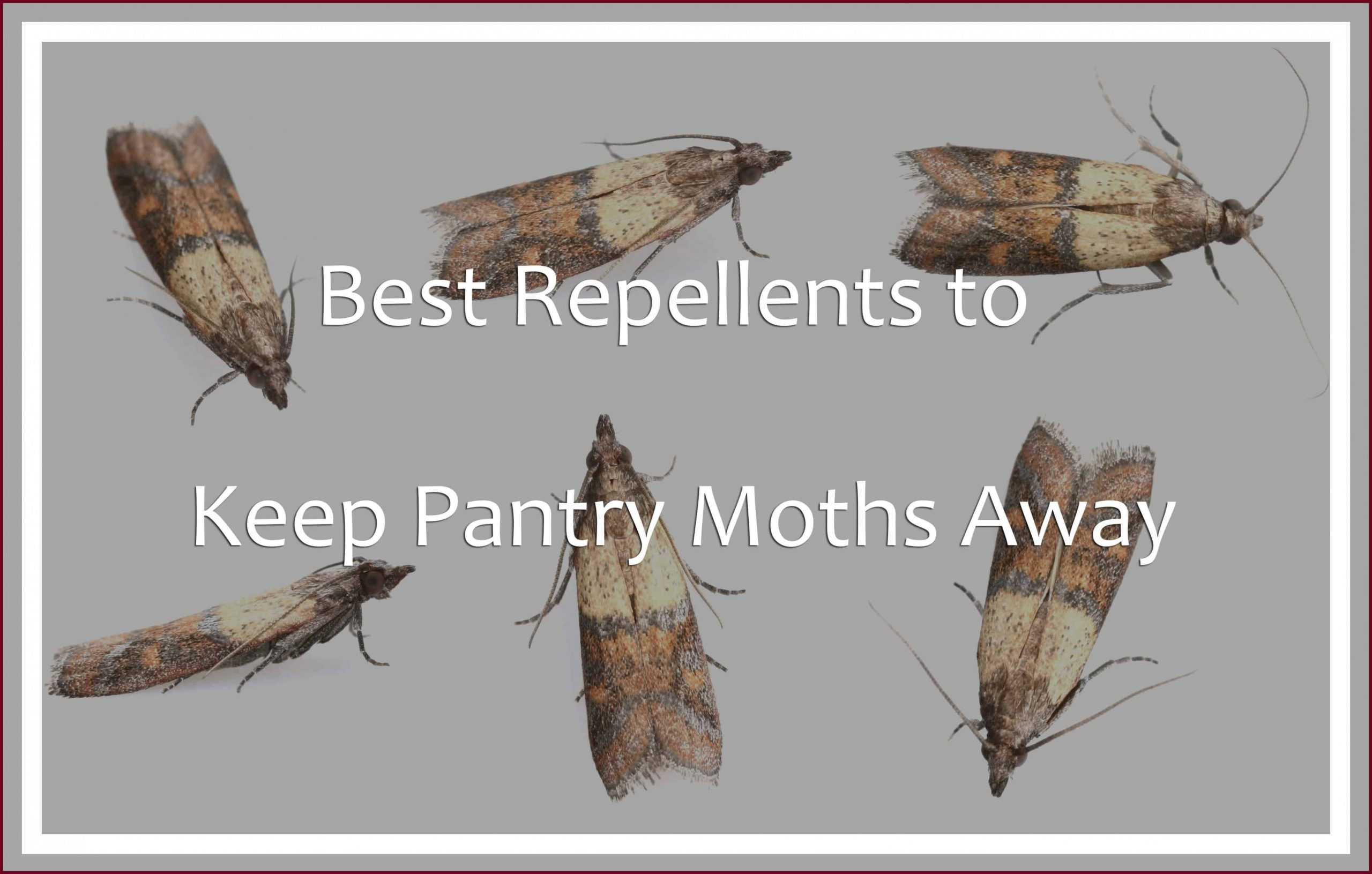 Best Repellents to Keep Pantry Moths Away (8) - Pest Wiki - Moths In Kitchen Cabinets