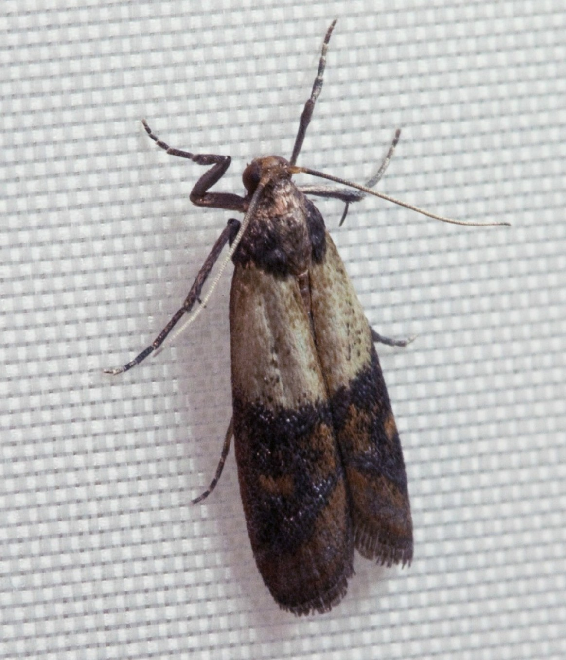 Getting Rid of Pantry Moths  ThriftyFun - Moths In Kitchen Cabinets